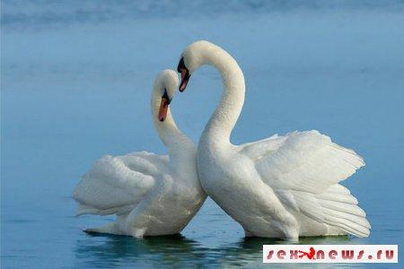 В Приморье была воссоединена лебединая пара