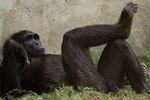 Ученые выяснили, почему в размере гениталий человека и обезьян существуют различия