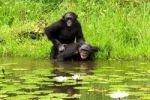 Крики во время секса у приматов служат для