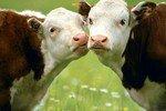Исследование: Коровы способны защитить человечество от ВИЧ