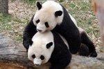 Пандам в китайском зоопарке показали порно