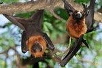 Летучие мыши шокировали ученых изящными интимными ласками