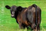 Судья отчитал присяжных за смех над делом о неудавшемся сексе с коровой